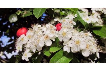 Il biancospino - pianta medicinale dell'anno 2019